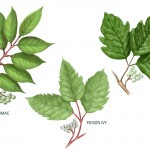 The Facts About Poison Ivy