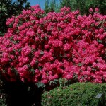 Engledow Group on Indy Style: Rhododendron and Mulch